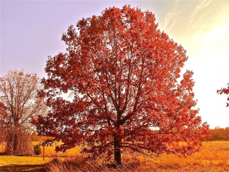 Quercus rubra – El Roure vermell americà