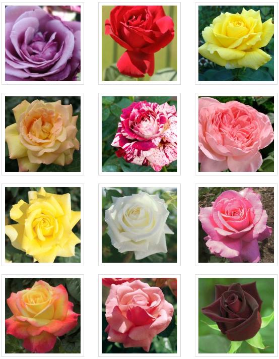 venda de rosers a Barcelona