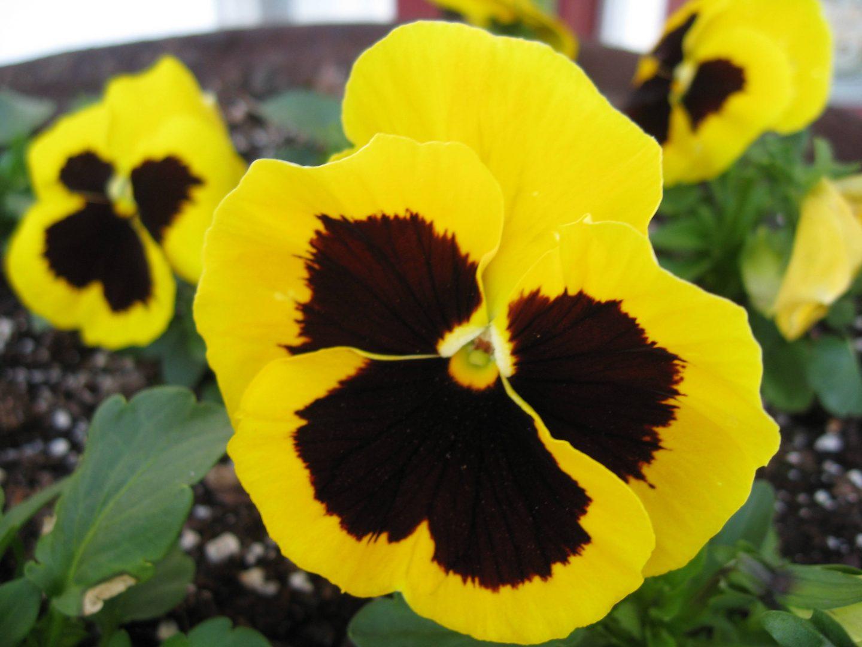 Video sobre caracteristiques i cures del Pensament (Viola wittrockiana)