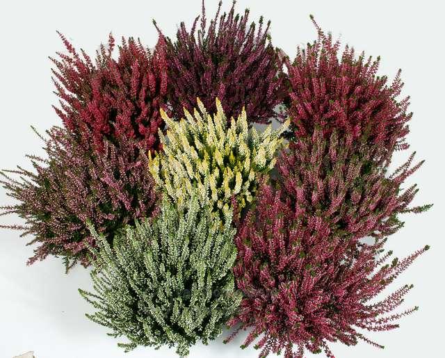 Planta del mes d´Octubre: Calluna amb un 25% de descompte.