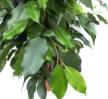 Ficus danielle hoja - Arbustos de interior ...