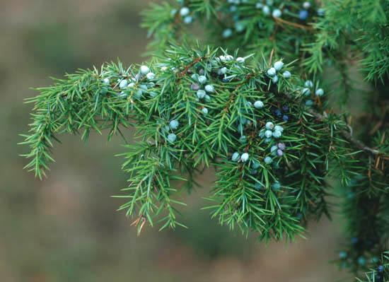 Els Juniperus – Més de 25 varietats diferents a la venda.