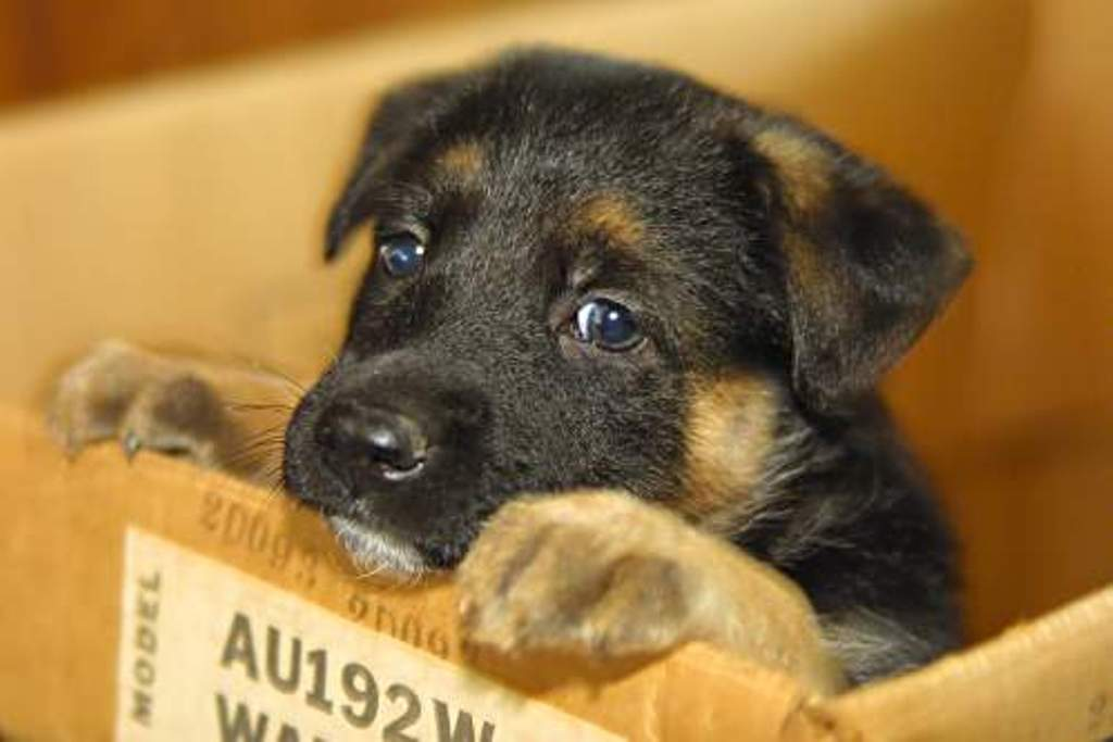 Races de gossos: Pastor Alemany.