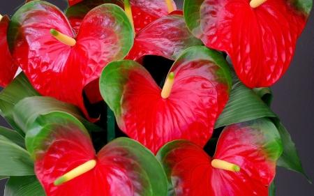 Planta del mes de Febrer: Anthurium amb un 25% de descompte.