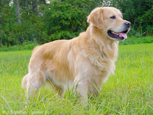 golden-retriever-raza-de-perro