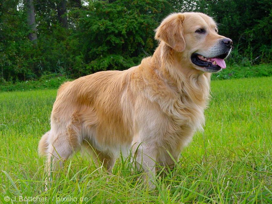 Races de gos: Golden Retriever.