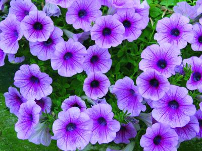 Planta del mes d´Agost: Petunia amb un 15% de descompte.