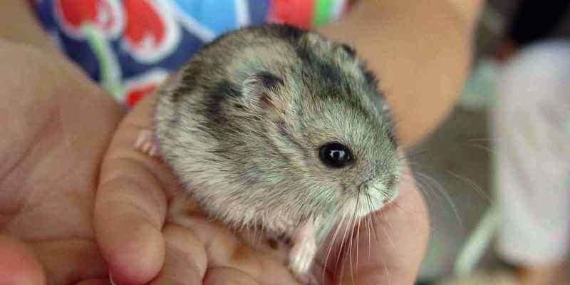 El Hamster: caracteristiques i cures