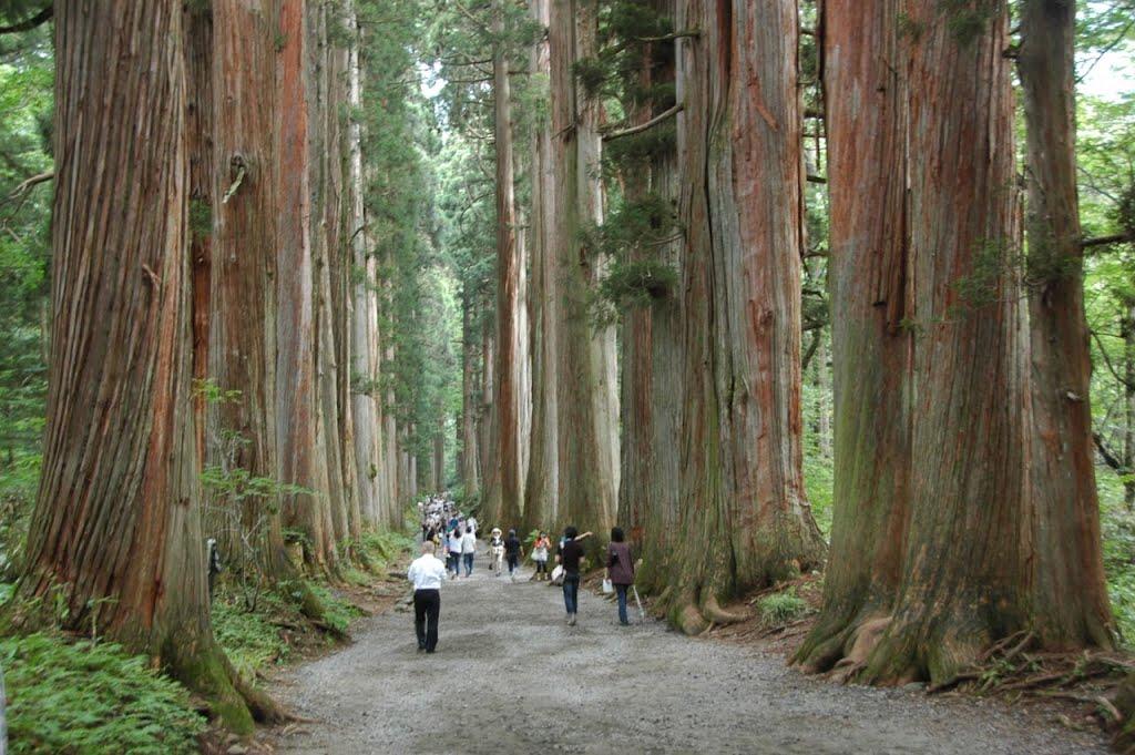 El Sugi (Cryptomeria japonica): El gegant japonès.