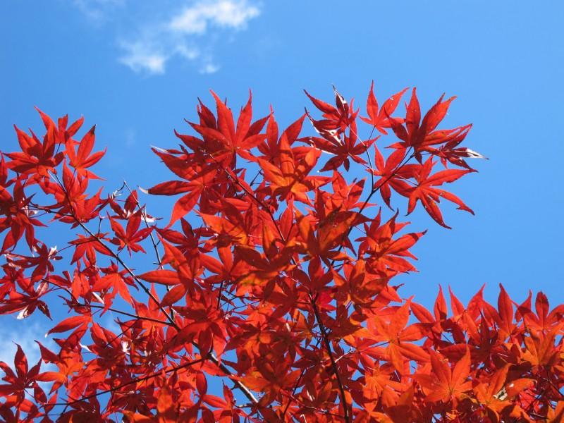 Planta del mes de març: auró japonès amb un 25% de descompte.