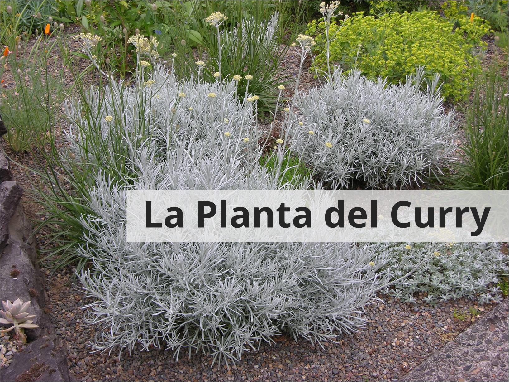 Caracteristiques i cures de la planta del curri (video)