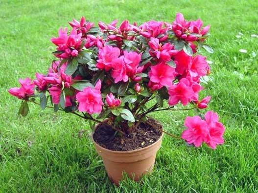 Planta del mes de Març: Azalea amb un 25% de descompte.