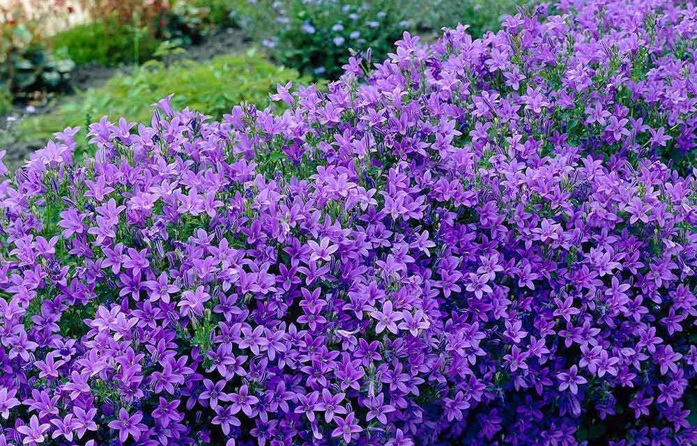 Campanula: Flors blaves, abundants i duraderes.