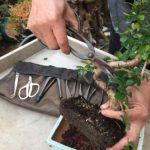 Curs cultiu del Bonsai (gratuït): reserva la teva plaça ara!