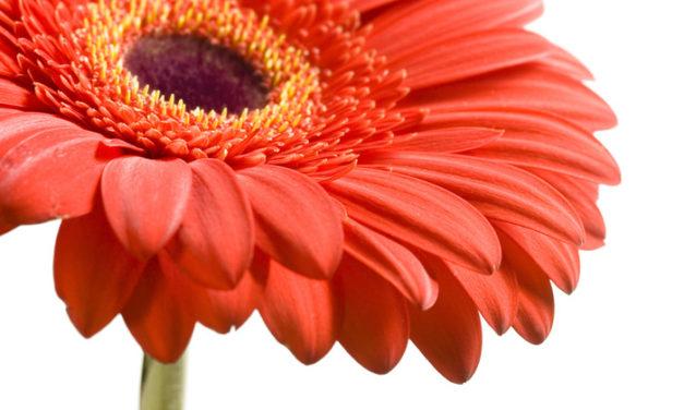 Planta del mes d´Abril: Gerbera amb un 25% de descompte.