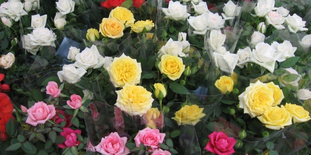 Planta del mes de Maig: Rosers miniatura amb un 25% de descompte.