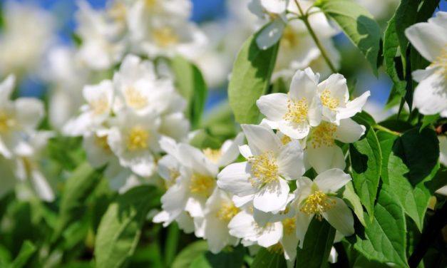 4 plantes per perfumar el teu jardí