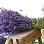 Plantes antimosquits: cures i característiques