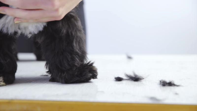 Com tractar la caiguda del pèl en els gossos