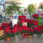 Nadal: temps de Ponsètia