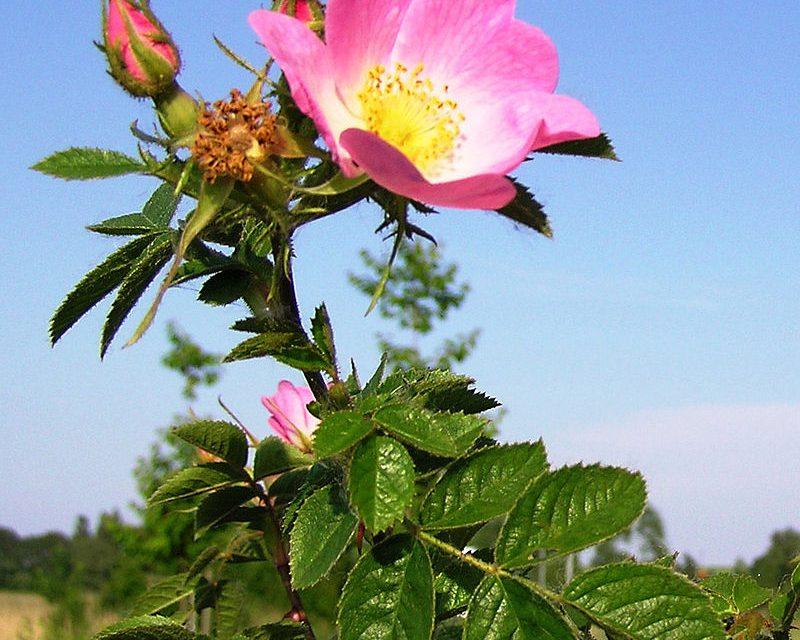 Rosa de mosqueta: Propietats extraordinàries.