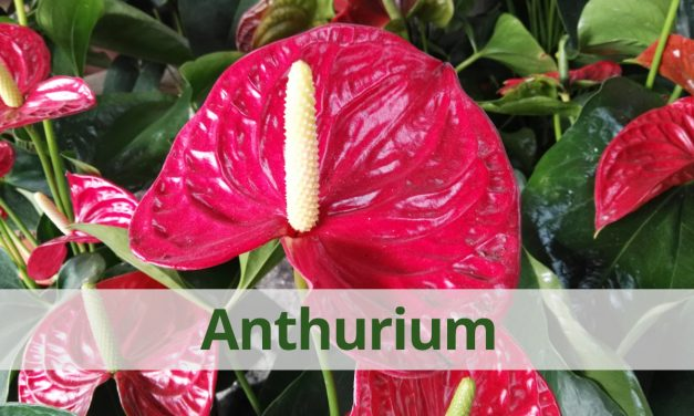 Característiques i cures del Anthurium (video)