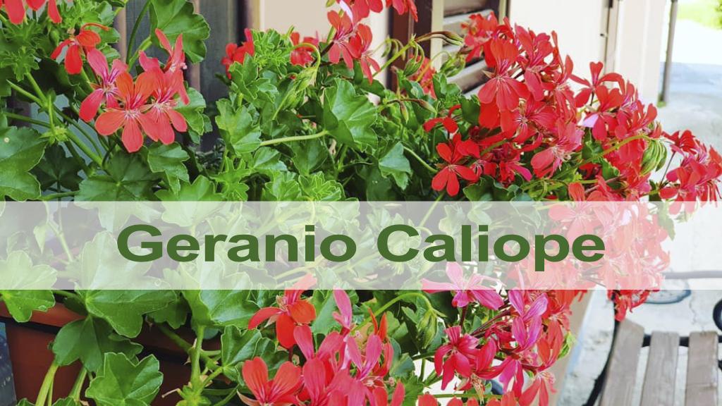 Característiques i cures del Gerani Caliope