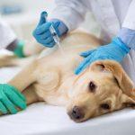 Les vacunes i la seva importància en la salut del teu gos