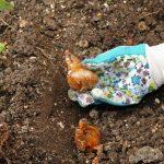 Bulbs: plantació i cures bàsiques