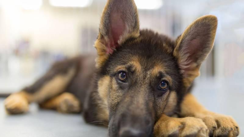 Com identificar els símptomes de malaltia d´un gos