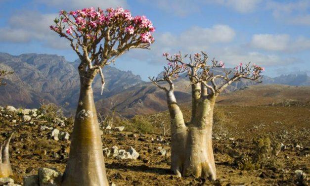 Adenium obesum – La rosa del desert