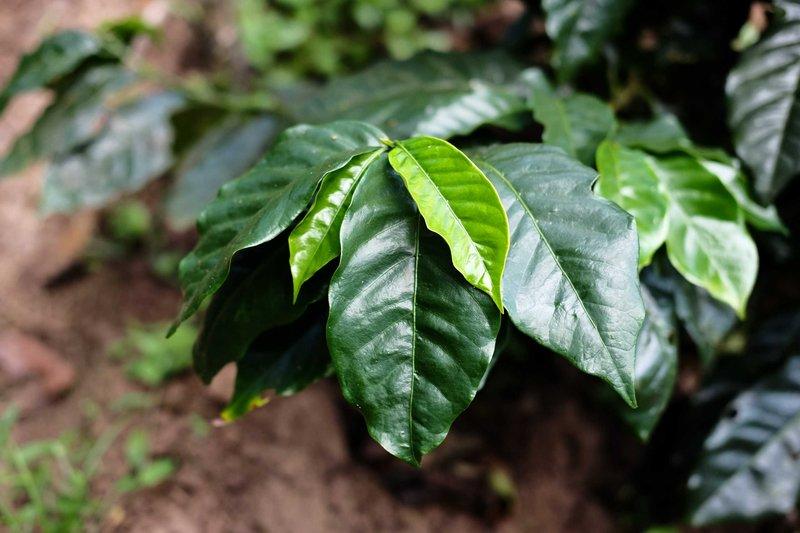 Característiques i cures de la planta de cafè (Coffea arabica)