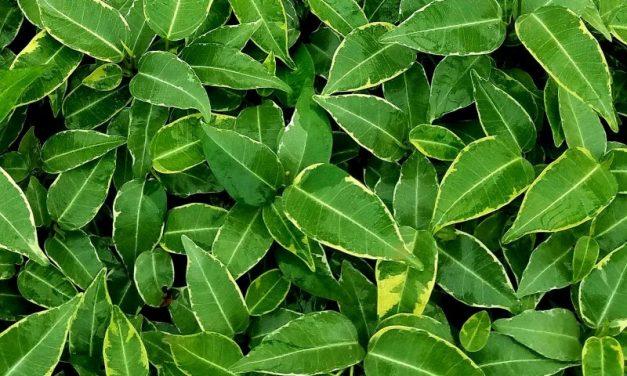 Ficus: una gran familia