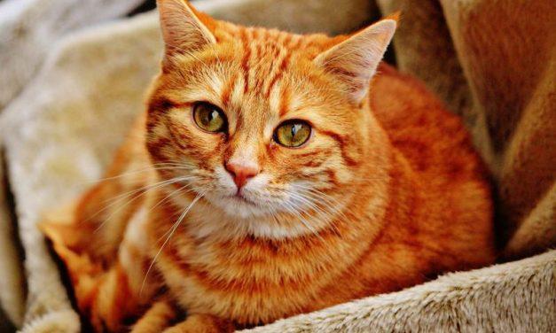 Estratègia contra les boles de pèl del gat