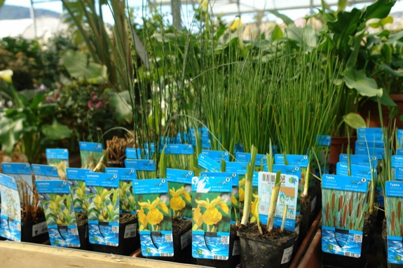 plantas-acuaticas-venta-1