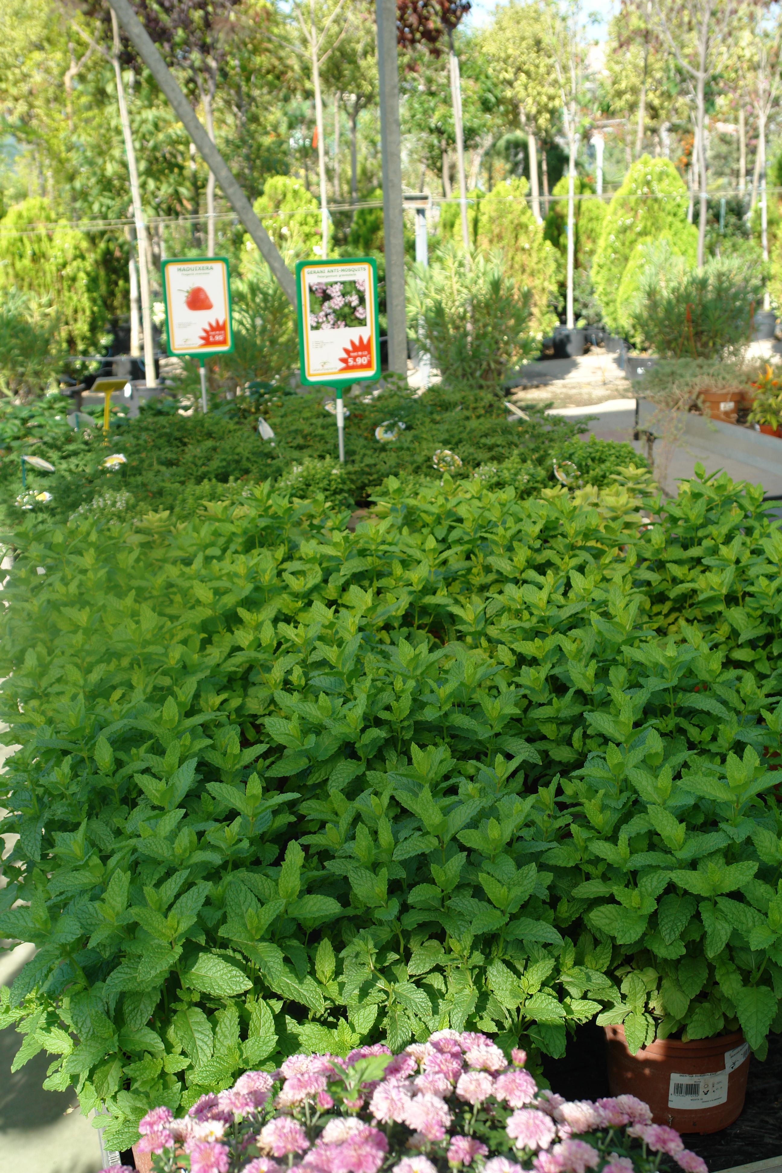 venta de plantas arom ticas en barcelona garden