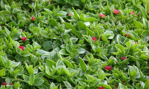 Aptenia cordifolia: cuidados y características