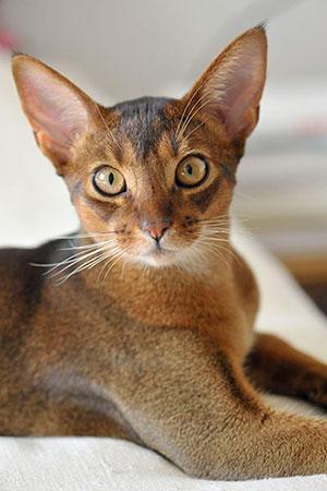 abisinio-razas-gato
