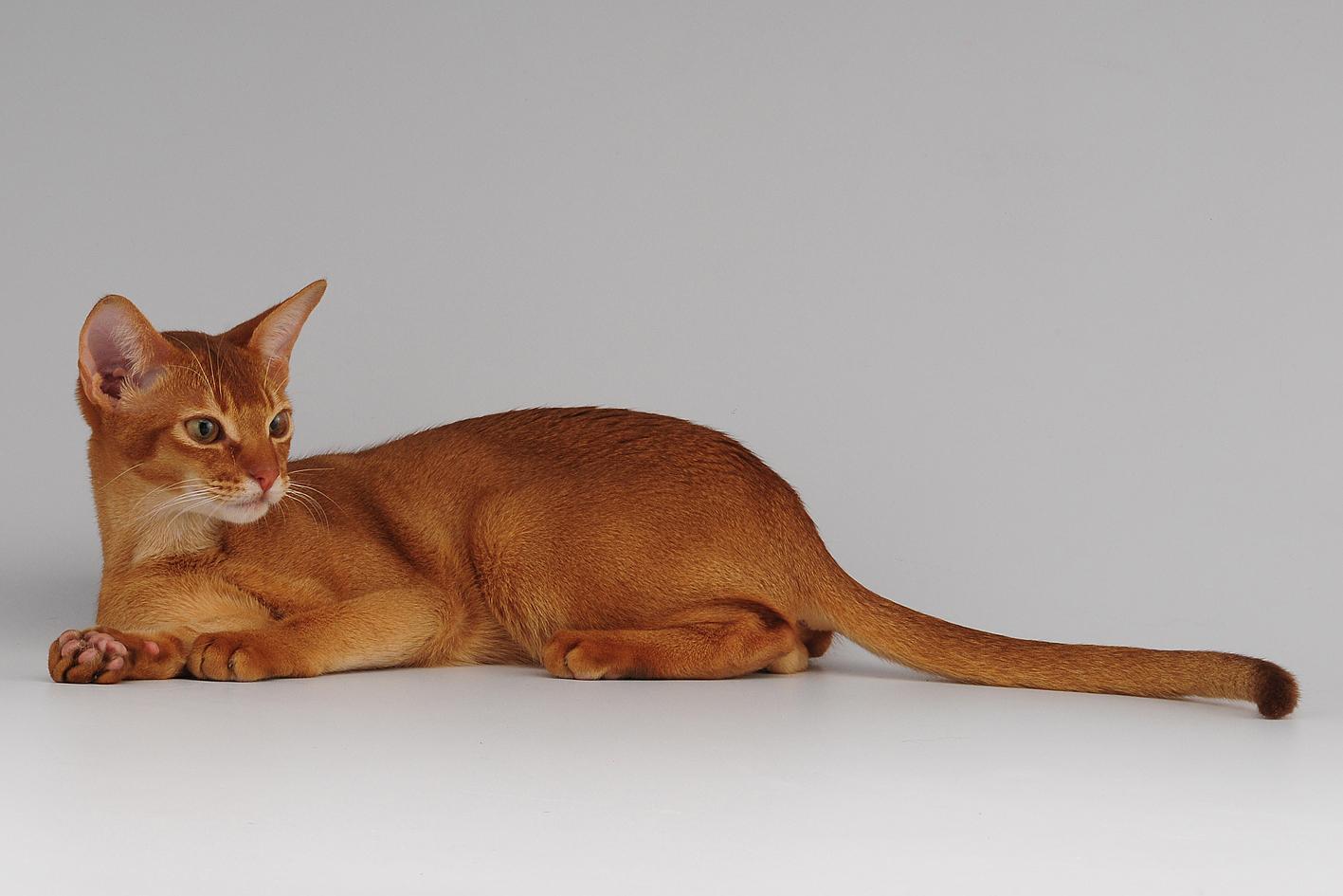 Razas de gatos: Abisinio.