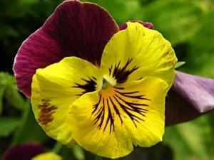 Flor de pensamiento amarilla