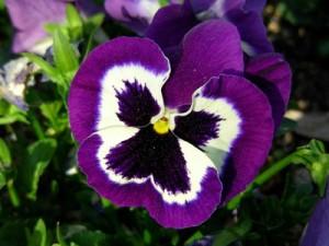 Flor de pensamiento lila
