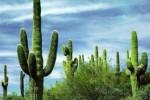 Giant-Saguaro-cactus-7-