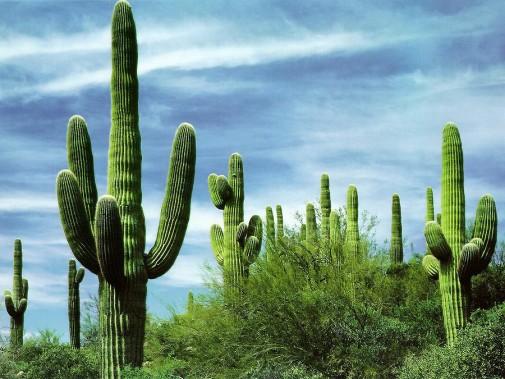 Saguaro – Gigante del desierto