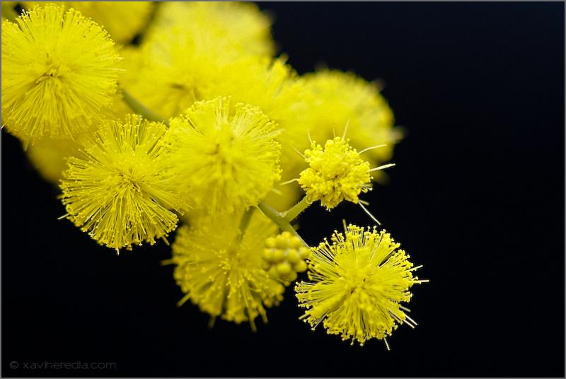 Mimosa – Acacia dealbata