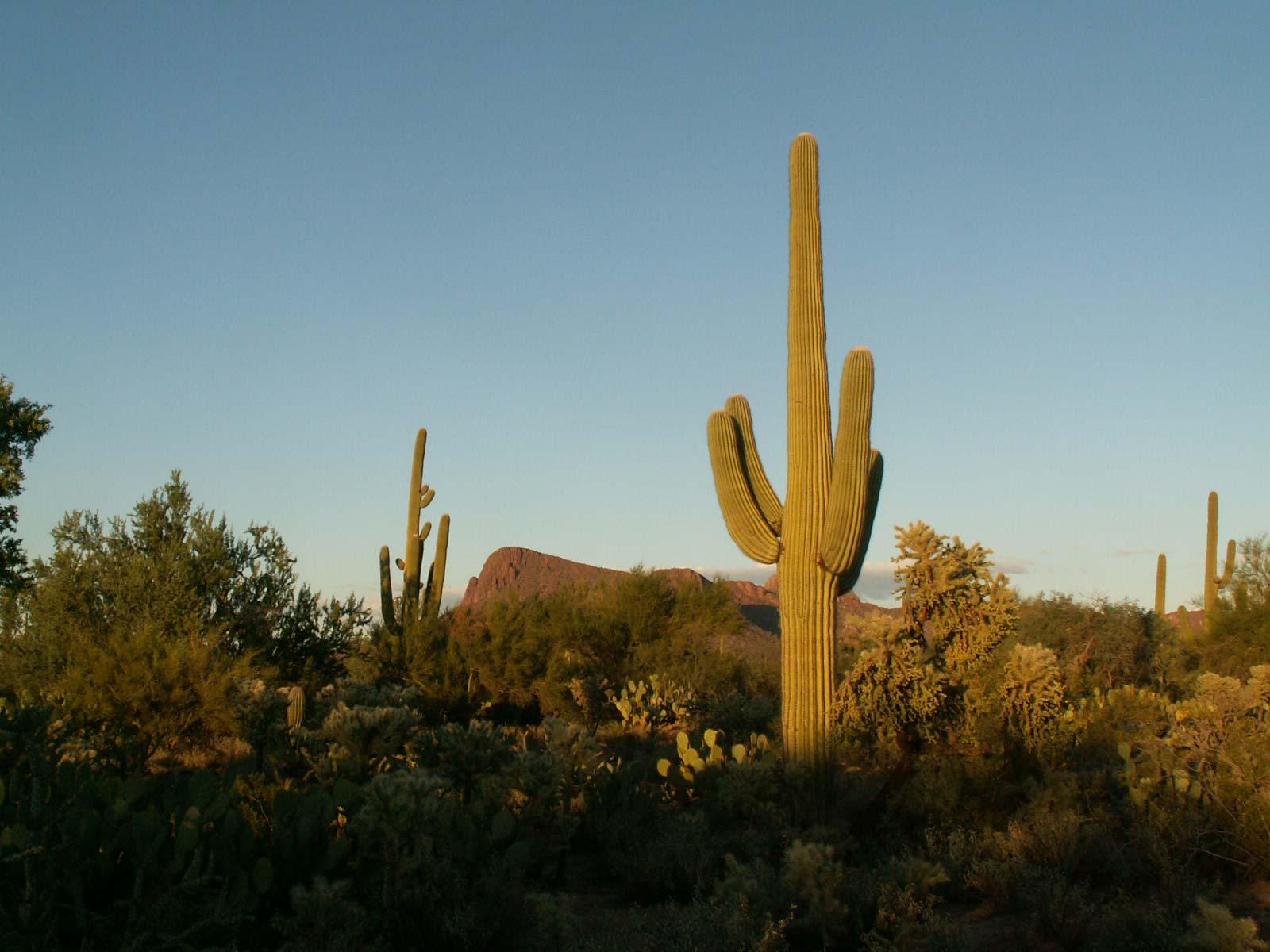 Saguaro gigante del desierto garden catalunya plants - Informacion sobre los cactus ...