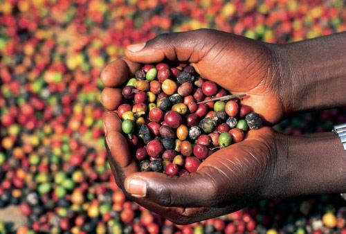 Planta del café – Coffea arabica