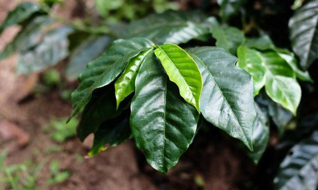 Características y cuidados de la planta del café (Coffea arabica)