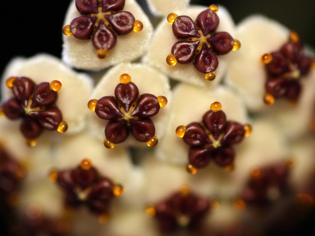 Hoya kerrii – Planta del corazón