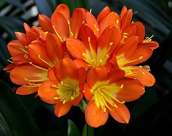 Clivia – Un toque naranja