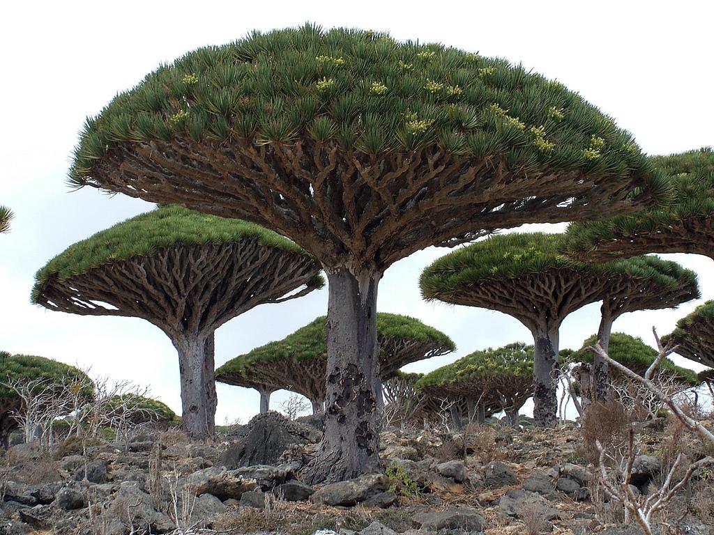 El drago de Canarias